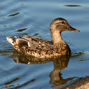 Northern Pintail by Sheldon Bilsker - Animals Birds ( water, park, nature, northern pintail )