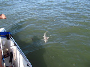 Photo: And then a little Carcharhinid shark showed up.