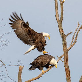 Bald Eagles Getting Ready to Mate by Jerry Hoffman - Animals Birds (  )