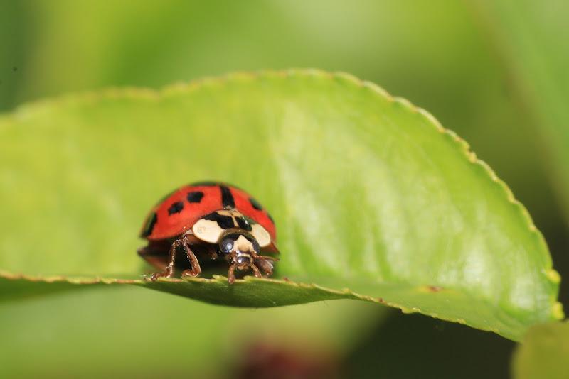 Macro ladybug di Alessandro_ph