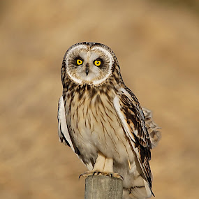 Short-eared Owl by Hans Olav Beck - Animals Birds ( short-eared owl,  )