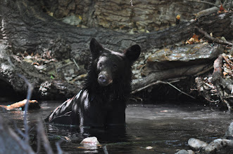 Photo: Young black bear swimming in a Huachuca mountains springhole.