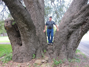 Photo: Gregg Lee and his nominee for state and national champion Texas live oak. We differentiate the two species of live oak based on geography: trees in the coastal plain are Q. virginiana, while those north and west of the Balcones Escarpment we consider Q. fusiformis.