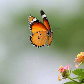Plain tiger by Nelson Thekkel - Animals Insects & Spiders (  )