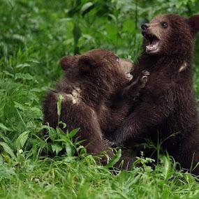 Fight by Zeljko Padavic - Animals Other Mammals ( bear, gorski kotar, pentaxk3,  )