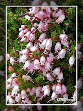 Photo: Bruyère d'automne, Erica manipuliflora