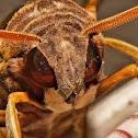 Jade Hawk-Moths