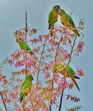 Photo: Schwer zu bestimmende Unterart des Aratinga nana, Olive-throated Parakeet