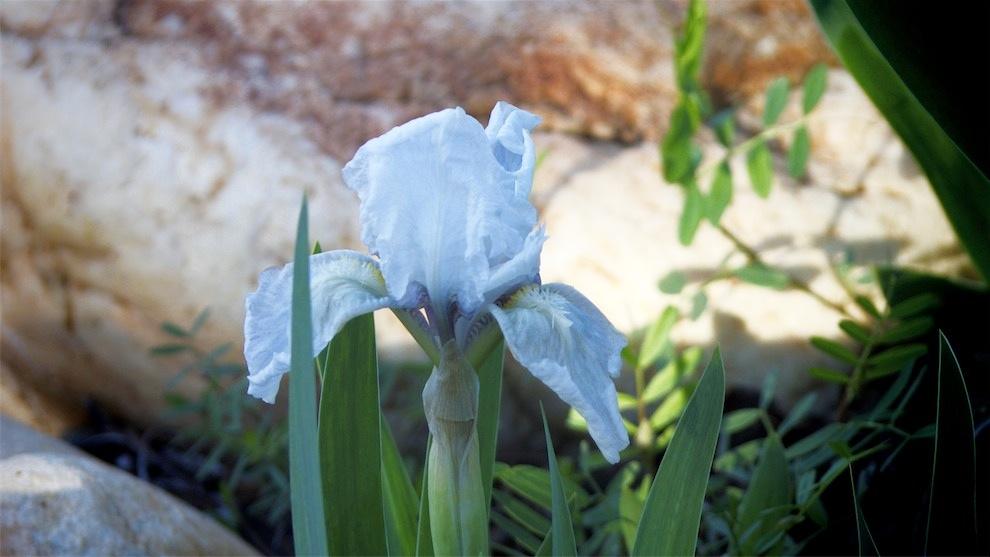Early Iris.jpg