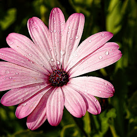 Coeur rouge sur fond rose by Gérard CHATENET - Flowers Single Flower