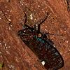 Fulgoridae Planthopper
