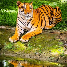 how cool i am........... by Rolando Eduard - Animals Lions, Tigers & Big Cats