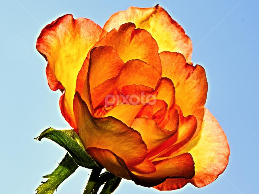 beautiful rose by LADOCKi Elvira - Flowers Flower Gardens ( nature, flowers, garden,  )