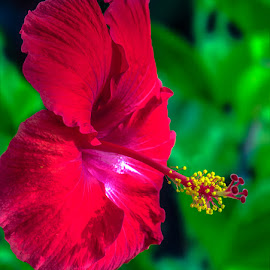 Hibiscus in Red by Joan Sharp - Flowers Single Flower ( red, flowers, green, hibiscus,  )
