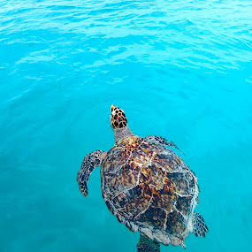 Out to Sea by Ashley Humphrey - Animals Sea Creatures ( water, tortoise, nature, beautiful, sea, ocean, turtle, swimming, animal )