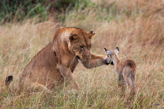 Photo: Ugandan lioness who, after killing an adult Kob (a species of antelope), then took its baby offspring into care.  But it will probably go hungry and not survive into adulthood.  Gazelles that see lioness nearby can hop around to show that they are fit and healthy and not worth running after. This show is costly but will dissuade the lioness from going after the gazella. Cost vs profit like in every evolutionary mechanism.  People: as with other animals we have behaviours for attacking and behaviours for caring. Both are needed for our genes survival as we need to gain and use our resources.