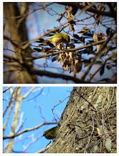 Photo: 撮影者:佐藤サヨ子 メジロ タイトル: 観察年月日:2015年1月5日 羽数:数羽 場所:高幡台団地緑地 区分:行動 メッシュ:武蔵府中3H コメント:いつものようにガビチョウが親分肌よろしくそこにカラ類がそれぞれのファミリーでしょうか、混群ではなくやって来ています。