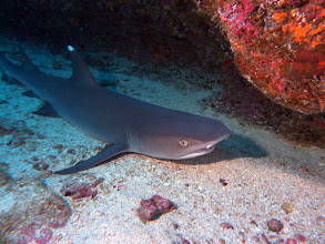Photo: #003-Requin pointes blanches (Cocos 2010)