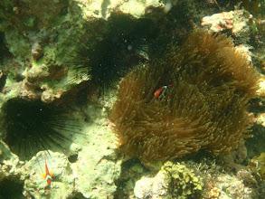 Photo: Amphiprion frenatus (Tomato Clownfish), Entacmaea quadricolor (Bubble Anemone), Panglao Island, Philippines