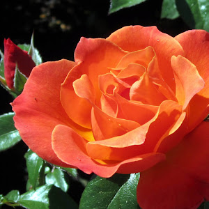Beautiful rose at the Mission-1.jpg