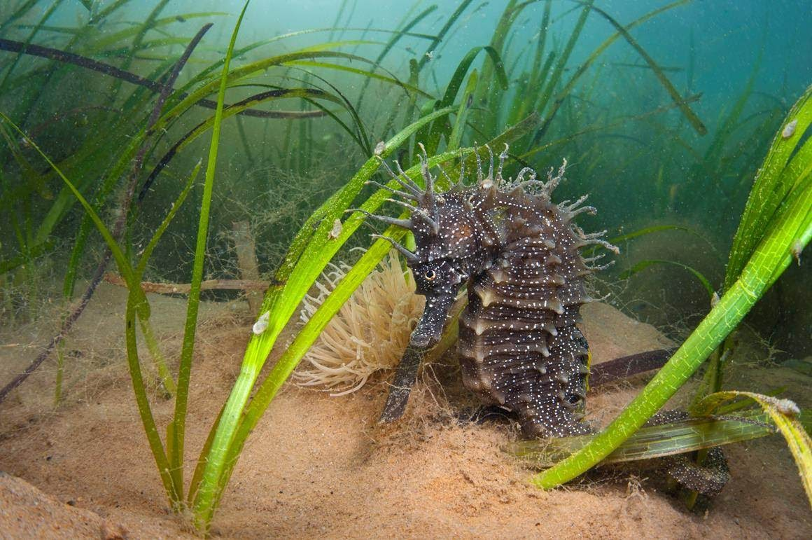 Seahorse in seagrass meadow