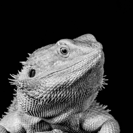 Beardie by Garry Chisholm - Black & White Animals ( bearded dragon, macro, nature, reptile, lizard, garry chisholm )