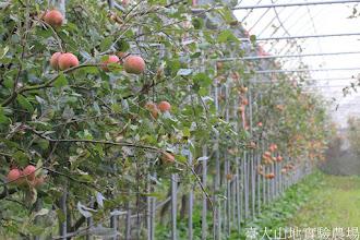 Photo: 拍攝地點: 梅峰-蘋果園 拍攝植物: 蘋果(富士) 拍攝日期: 2015_10_27_FY