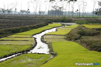 Photo: Paddy fields in Panchagarh