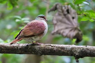 Photo: Key West Quail-Dove