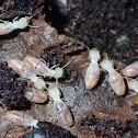 Cryptic termites