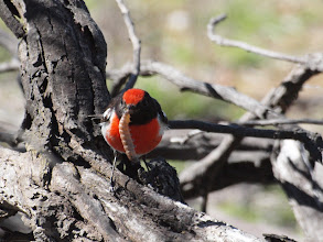 Photo: Red-capped Robin