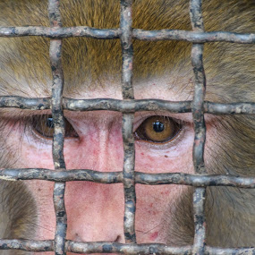 Monkey eyes by Bishal Ranamagar - Animals Other Mammals ( caged, wildlife, monkey, animal, eye,  )