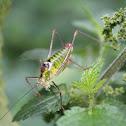 Bellied Bright Bush-cricket