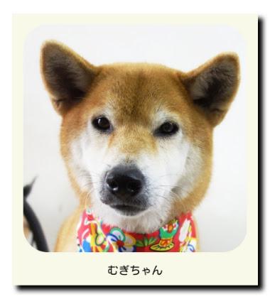 柴犬のむぎちゃん