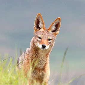 Sly by Romano Volker - Animals Other Mammals