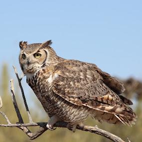 Great horned owl by Debbie Duggar - Animals Birds ( bird of orey, owl,  )