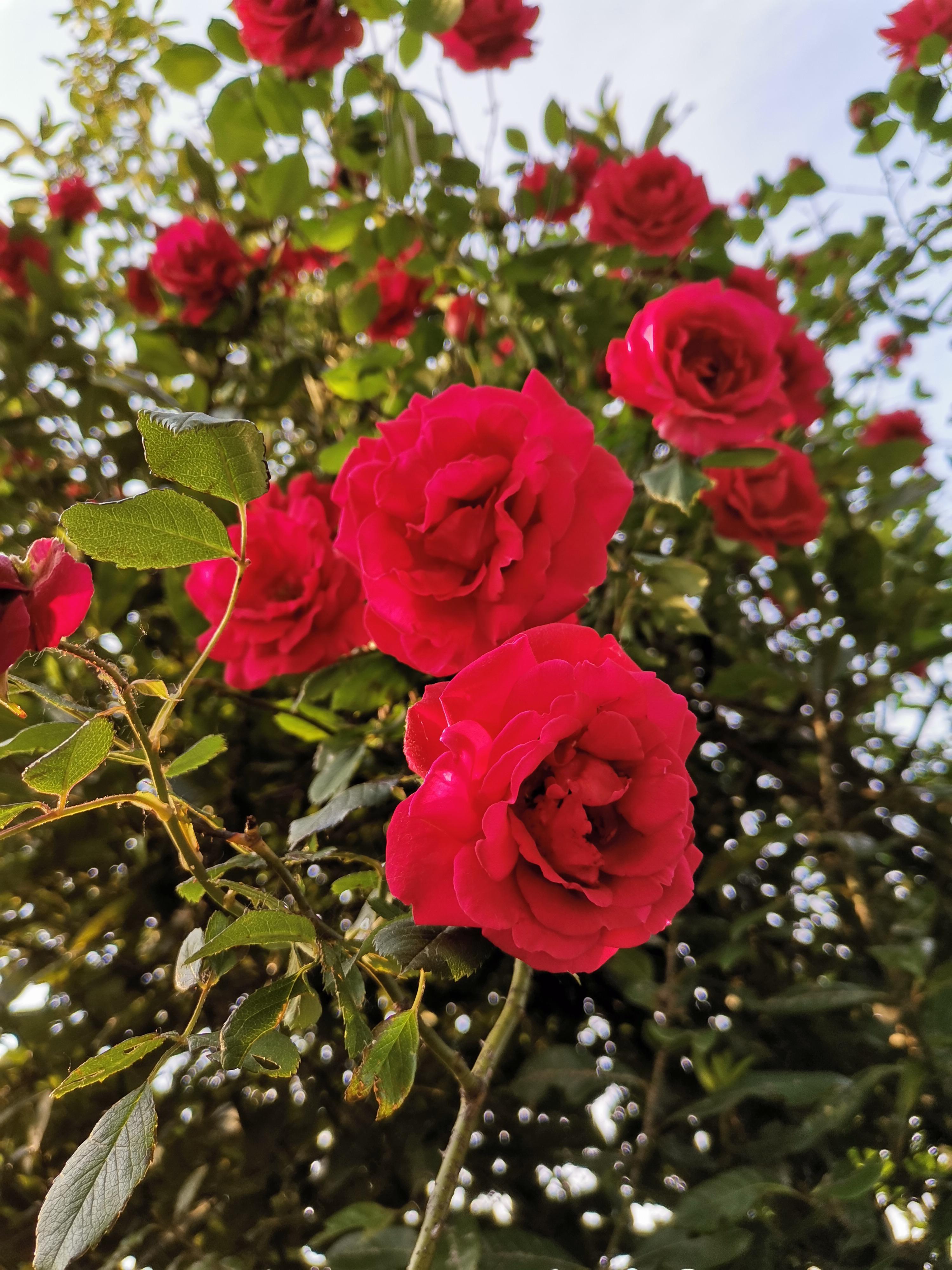 Rose Rosse nella semplicità