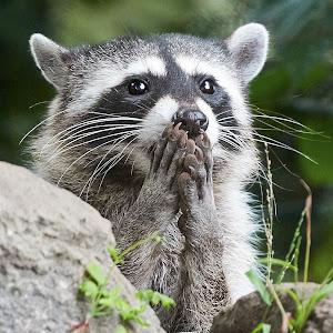 Raccoon 976~ 1.jpg