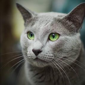 Mr Blue by Aleksander Cierpisz - Animals - Cats Portraits (  )