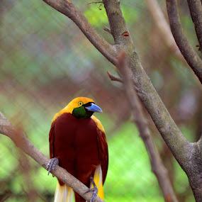 Cendrawasih by Mochi Tab - Animals Birds