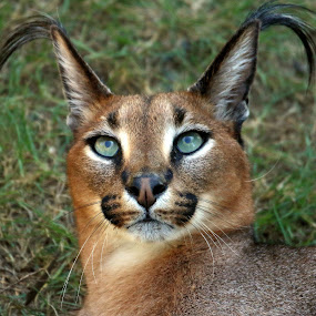 Rooikat by René Wright - Animals Lions, Tigers & Big Cats ( turquoise eyes, ears, predator, rooikat, intense eyes, wild, bug cat,  )