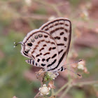 Striped Pierrot Butterfly