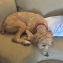 Bordoodle (border collie poodle)