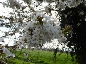 Photo: Arbre fruitier en fleurs en ce 9 avril