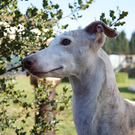 Galgo by Kim Mesorten - Animals - Dogs Portraits ( spanish, shorthair, garden, dog, dog portrait )