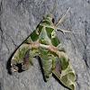 Army Green Moth