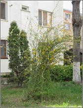 Photo: Turda - Aleea Plopilor, trandafir domnesc  - 2019.04.15