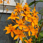 Epidendrum Orchid