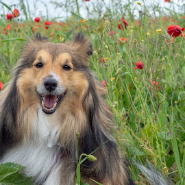 Benji among the poppies by Fiona Etkin - Animals - Dogs Portraits ( red, sheltie, flowers, smiling, shetland sheepdog, nature, grass, happy, animal, canine, poppies, dog,  )