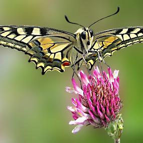 Schwalbi by Elke Krone - Animals Insects & Spiders ( ritterfalter, bunt, hilltopping, kleeblüte, schmetterling, schwalbenschwanz, falter )